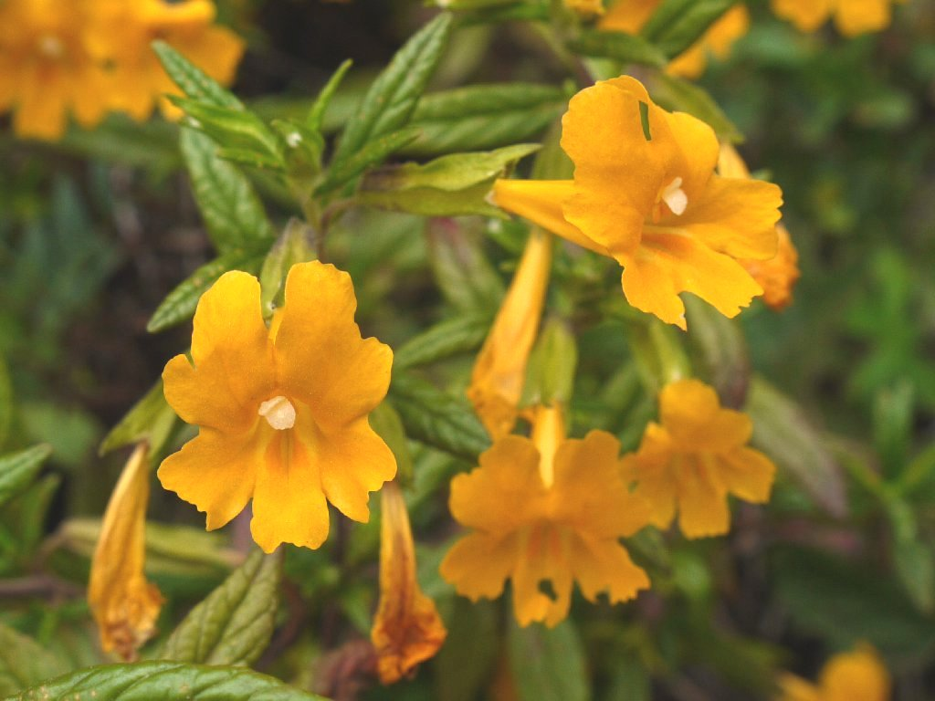 Monkeyflower Primrose Apricot Kellogg s Narrow Leaved